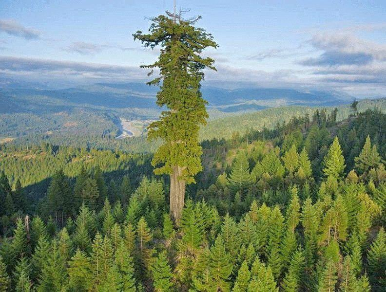 کشف بلندترین درخت دنیا به درازای یک زمین فوتبال
