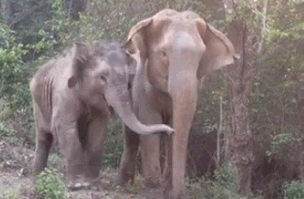 ملاقات دوباره یک بچه فیل با مادرش پس از سال ها جدایی