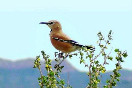 جشنواره ای به پاسداشت تنها پرنده اندمیک ایران