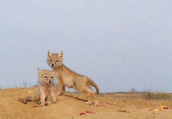 8 قلاده روباه در استخر ذخیره آب کشاورزی مهدی شهر تلف شدند