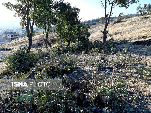 قطع 110 درخت بلوط در یاسوج توسط زمین خواران