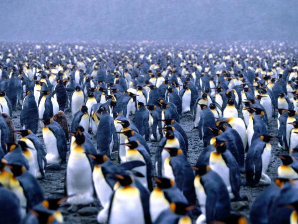 رشد جمعیت پنگوئن ها در میدان های مین فالکلندز، آمریکا