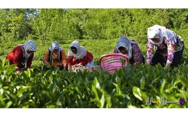 6 هزار هکتار باغ چای در کشور رها شده است